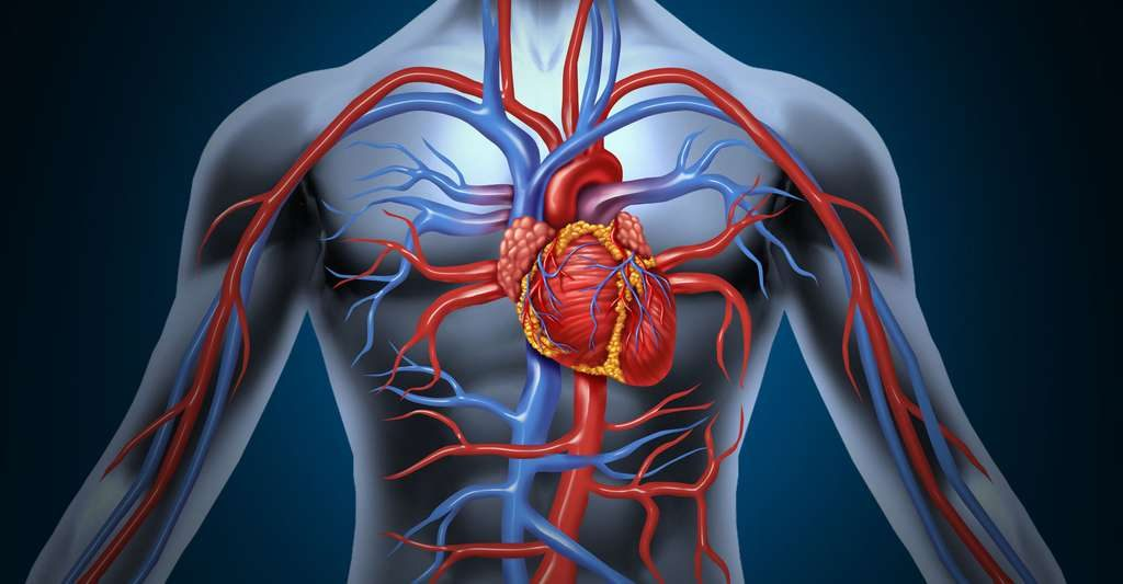 corps humain avec un coeur